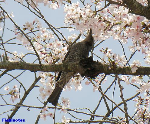 暫定「桜」定番鳥〈ヒヨ〉