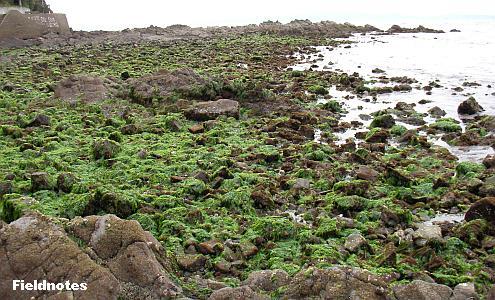 海草だらけの春の海岸