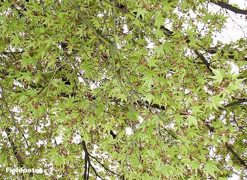 春のモミジ(多分イロハモミジ)