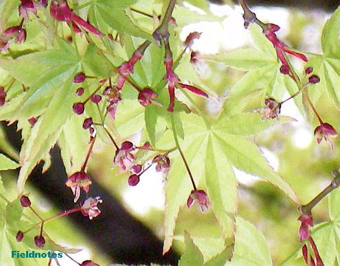 モミジの花(多分イロハモミジ)