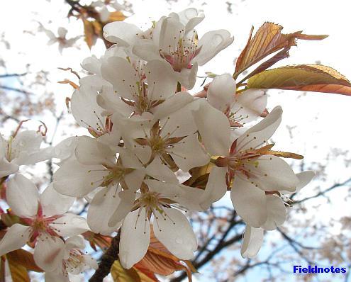 壇上伽藍の西行桜(ヤマザクラ?)