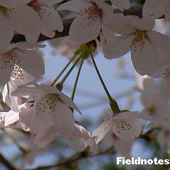花柄が長い桜(染井吉野)