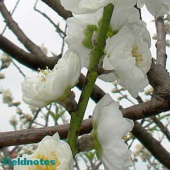 花柄が短い桃(関白)