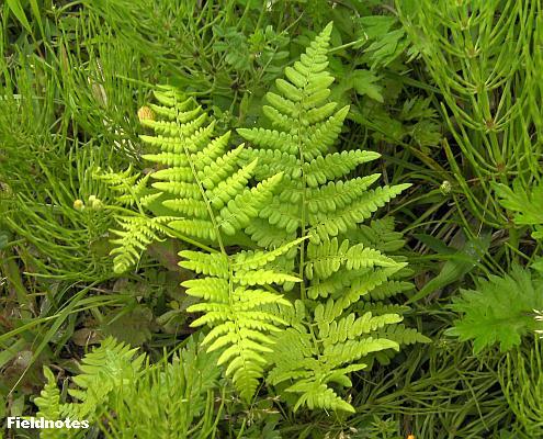 ここまで葉が開くともう食べられないシダ植物のワラビ