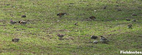 数羽の群れで芝生をつついているアトリ(多分)