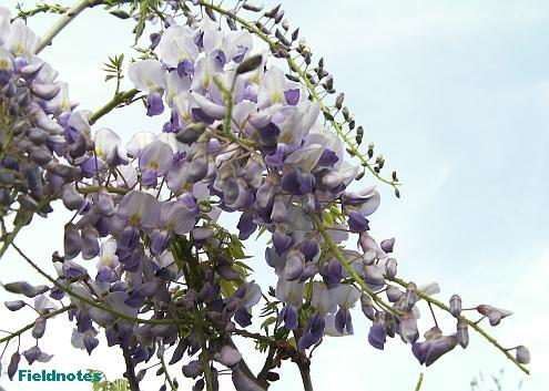 長い主軸にたくさん花がついているのでノダフジ