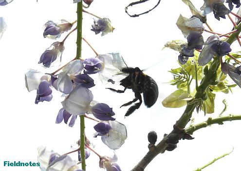 フジの花の間を飛び回るクマバチ