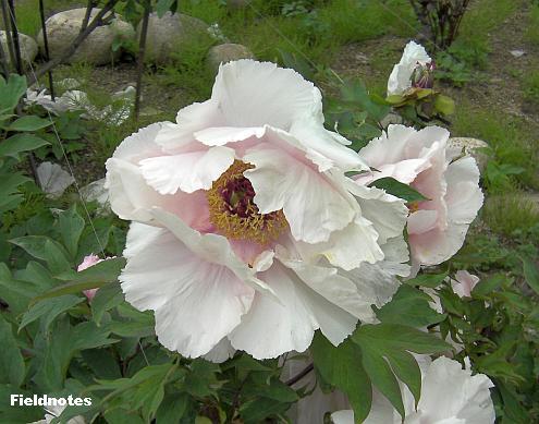 牡丹「大金粉」(長居植物園)