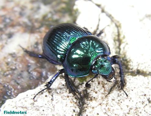 構造色の青緑に輝くルリセンチコガネ