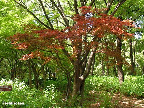 春の新緑の中で紅葉しているカエデ〈長居植物園〉