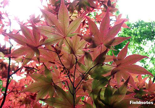 近くで見ると緑の葉もあるカエデ〈長居植物園〉