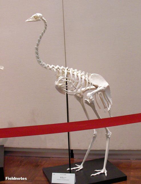 エミューの骨格標本〈ホネホネ探検隊-大阪市立自然史博物館〉