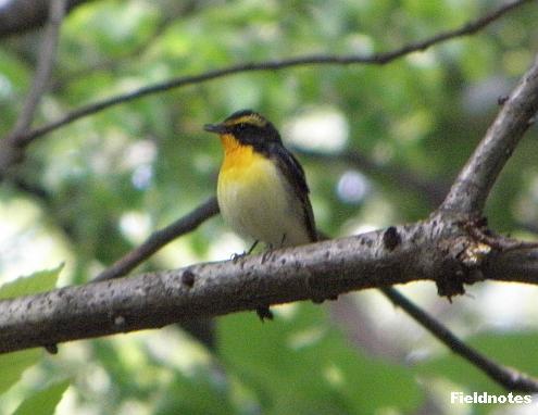 木の上で鳴いているキビタキ(長居植物園)