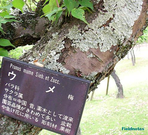 梅の木のウメノキゴケ[奈良公園]