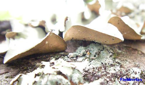 偽根が見当たらないウメノキゴケの地衣体の裏側[奈良公園]