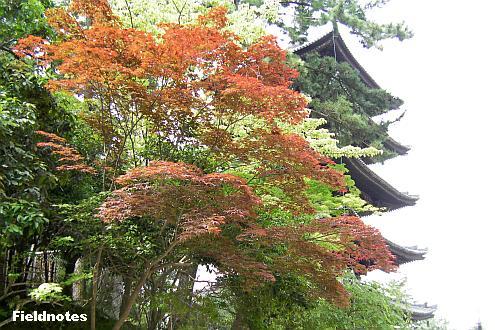 初夏の紅葉と興福寺の五重塔