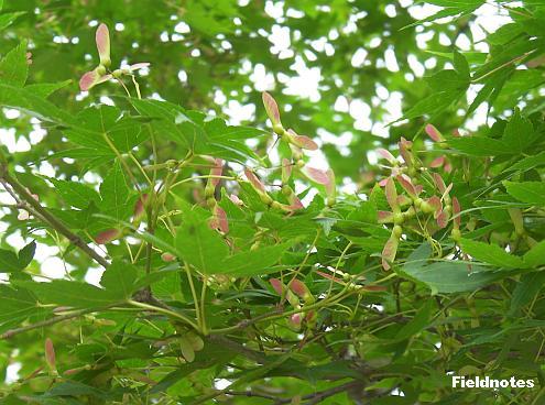新緑とピンクのプロペラのカエデ