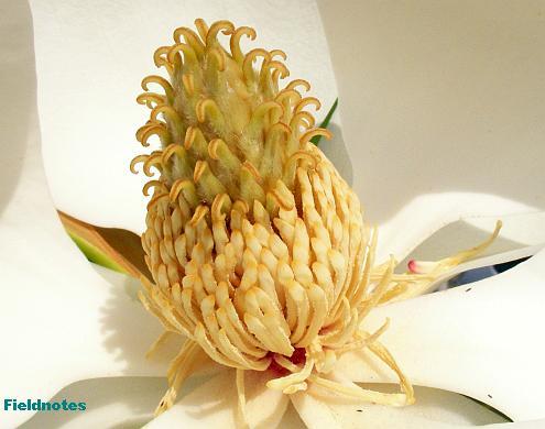 被子植物の古い形態を残すタイサンボクの雌蕊雄蕊