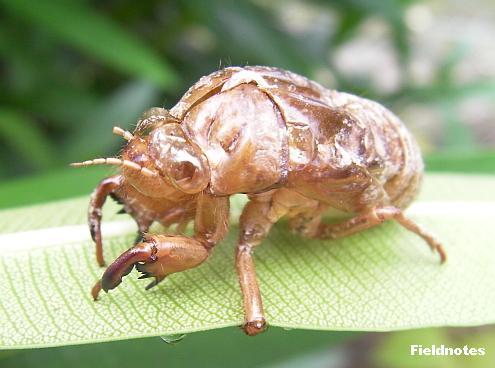 キョウチクトウの葉の裏の謎の抜け殻