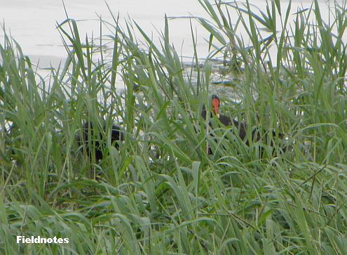 草むらの中でもよく目立つ真っ赤なバンの嘴