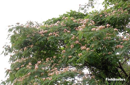 きれいに咲いているネムノキ