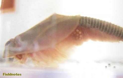 卵を鰓脚に持ったカブトエビ