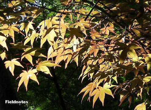 8月になってもまだ葉が赤い(オレンジ色)長居植物園のカエデ