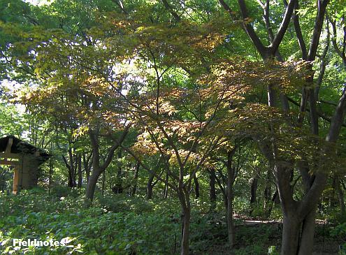 全体を見ると紅葉とは言いにくいが緑とも言いにくい長居植物園のカエデ