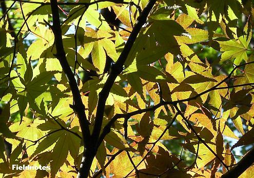 よく見ると緑色の葉もある長居植物園のカエデ