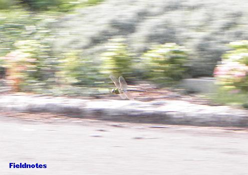 ものすごいスピードで飛び回っている大泉緑地の大きなトンボ