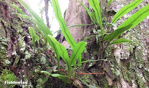 木に着生している金剛山のシダ
