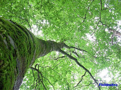 金剛山のブナの大木