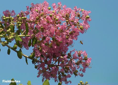薄紅の百日紅の花と小さなミツバチ