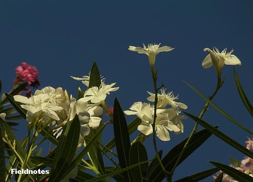 桃の花にはあまり似ていない白で一重のキョウチクトウの花
