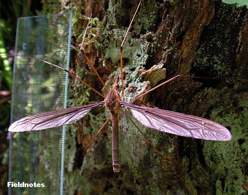 頭の端から腹の端まで約5cmのミカドガガンボ