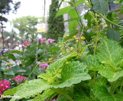 難波のビルの花壇のショウリョウバッタ
