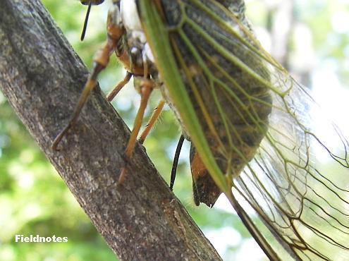 木の皮を産卵管の先でめくっているクマゼミ