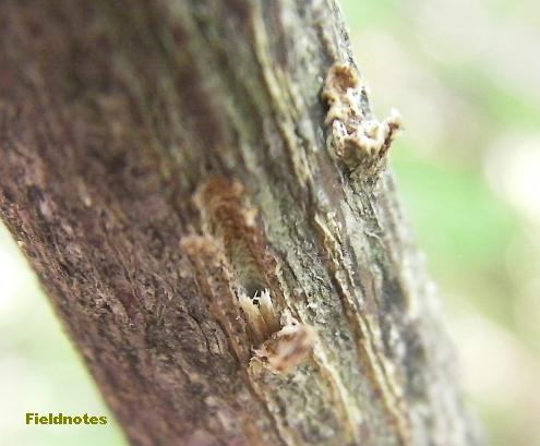 クマゼミに卵を産みつけられたコマユミの木の枝[長居植物園]