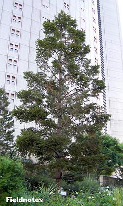 本家ヨーロッパではクリスマスツリーに使われるパークスガーデンのドイツトウヒ
