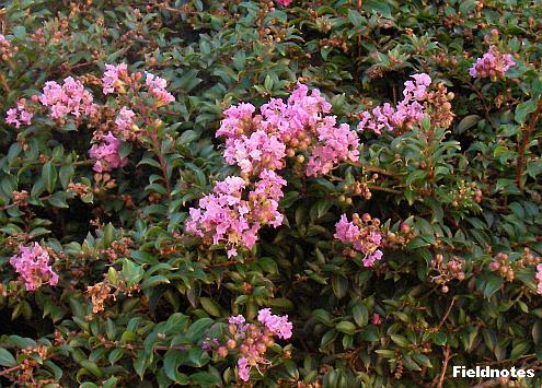 サルスベリの園芸種のパークスガーデンのチカソー