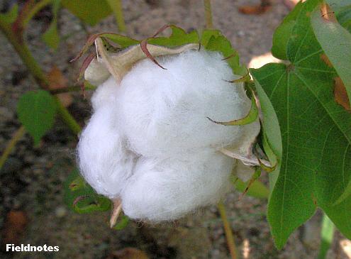 種が中に入った綿の実がなったワタ