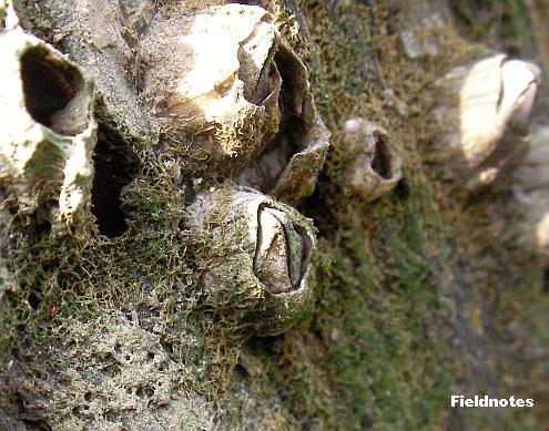 まるで化石のようなフジツボ(種類不明)