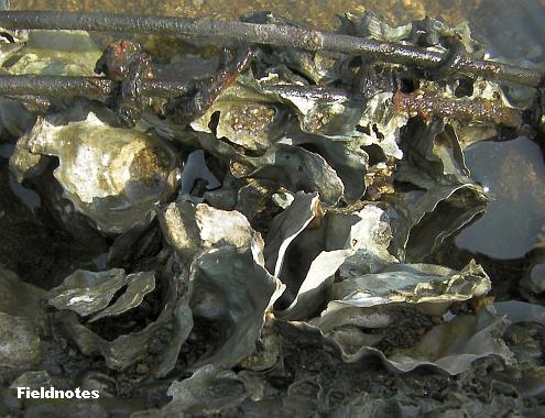 貝殻のみで中身が無いカキ(マガキ?)