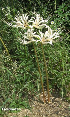 今年も咲いてる白いヒガンバナ