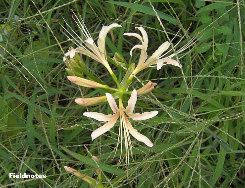 メヒシバに覆われてしまった白いヒガンバナの花