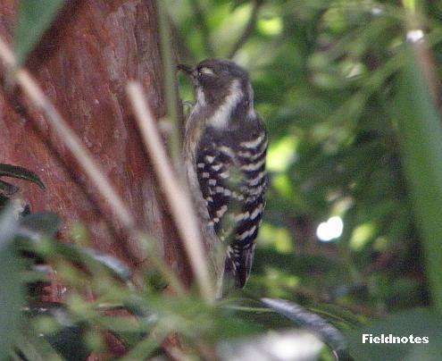 近くで聞くと木をつつく音が結構大きいコゲラ