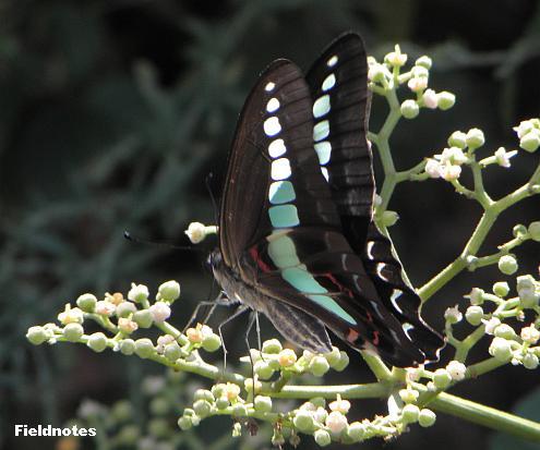 花壇のアオスジアゲハ