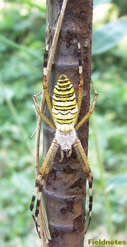 巣をつくってないナガコガネグモ