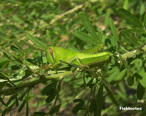 森のあちこちにいたツチイナゴの幼虫