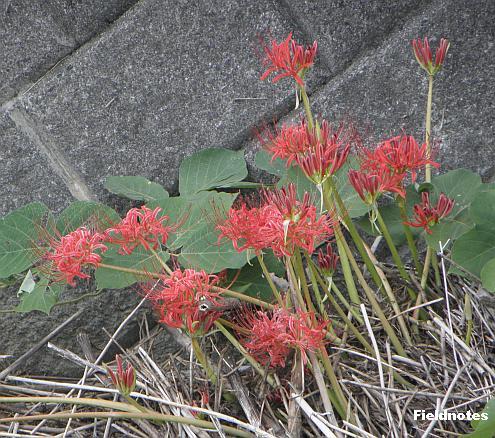 木田内川の川原に咲いているヒガンバナ